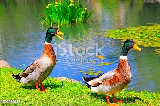 Lonely Green head Mallard Ducks drakes quacking on bright lake