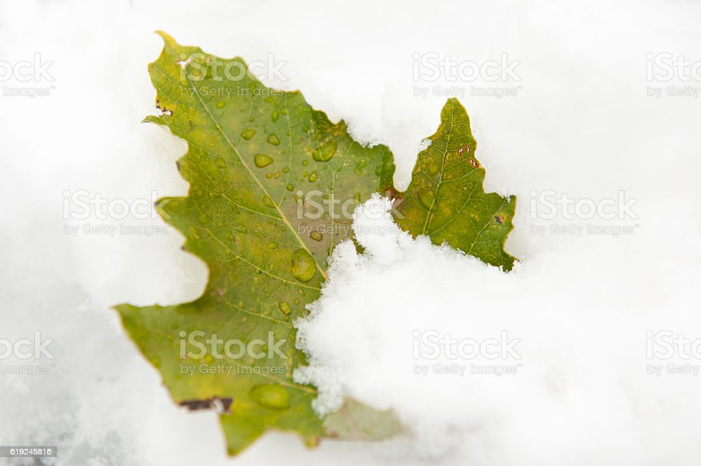 lonely green leaf sticking out of the snow stock photo