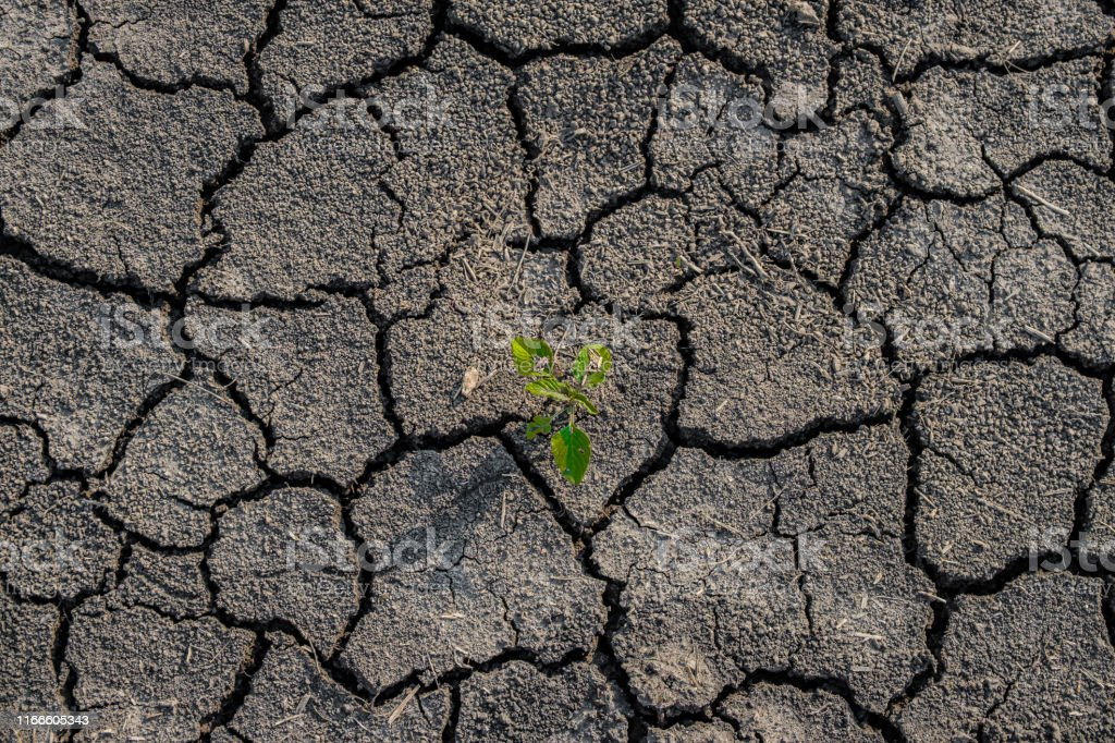 Lonely green sprout on lifeless soil cracked by drought. The...