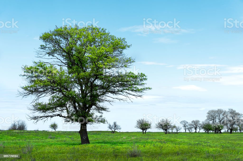 Lonely green tree in the middle of a meadow field against a blue sky background with white clouds. Spring landscape - Royalty-free Agricultural Field Stock Photo