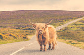 Highland cow is occupying a country road and looks at camera