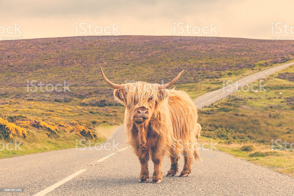 Lonely highland cattle on a country road stock photo