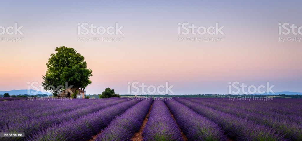 lonely house in the lavender field stock photo