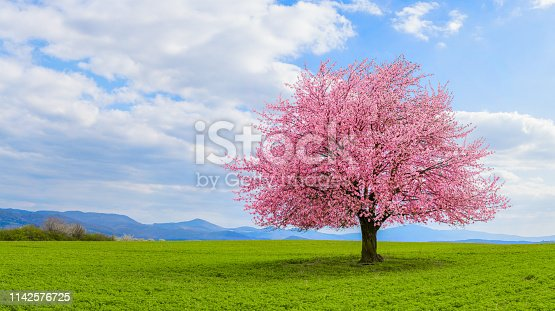 istock Lonely Japanese cherry sakura with pink flowers in spring time on green meadow. 1142576725