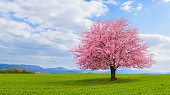 Blossoming cherry sakura tree on a green field with a blue sky and clouds.