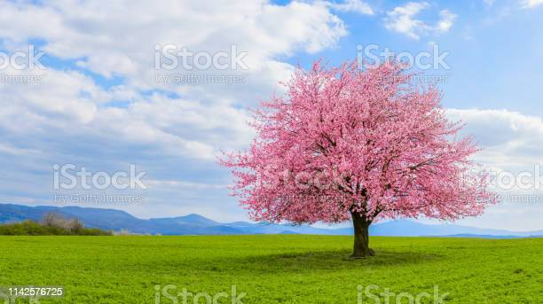 Photo of Lonely Japanese cherry sakura with pink flowers in spring time on green meadow.