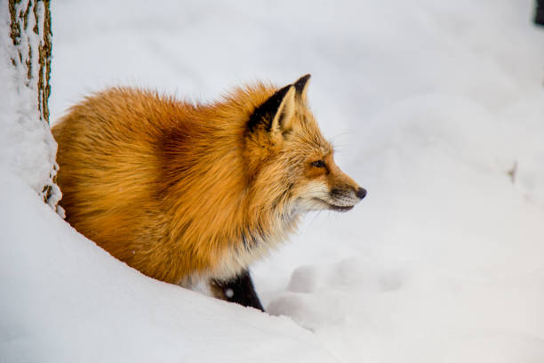A lonely Japanese fox stock photo