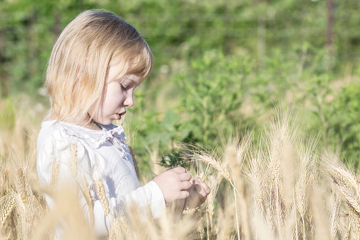 lonely little girl tearing off wheat spikelets in field in summer