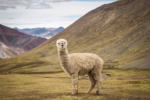 istock A lonely llama is standing on the plateau in the wild - Peru 966307134