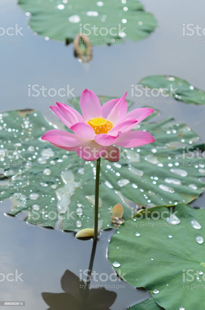 lonely lotus flower in flooding garden stock photo