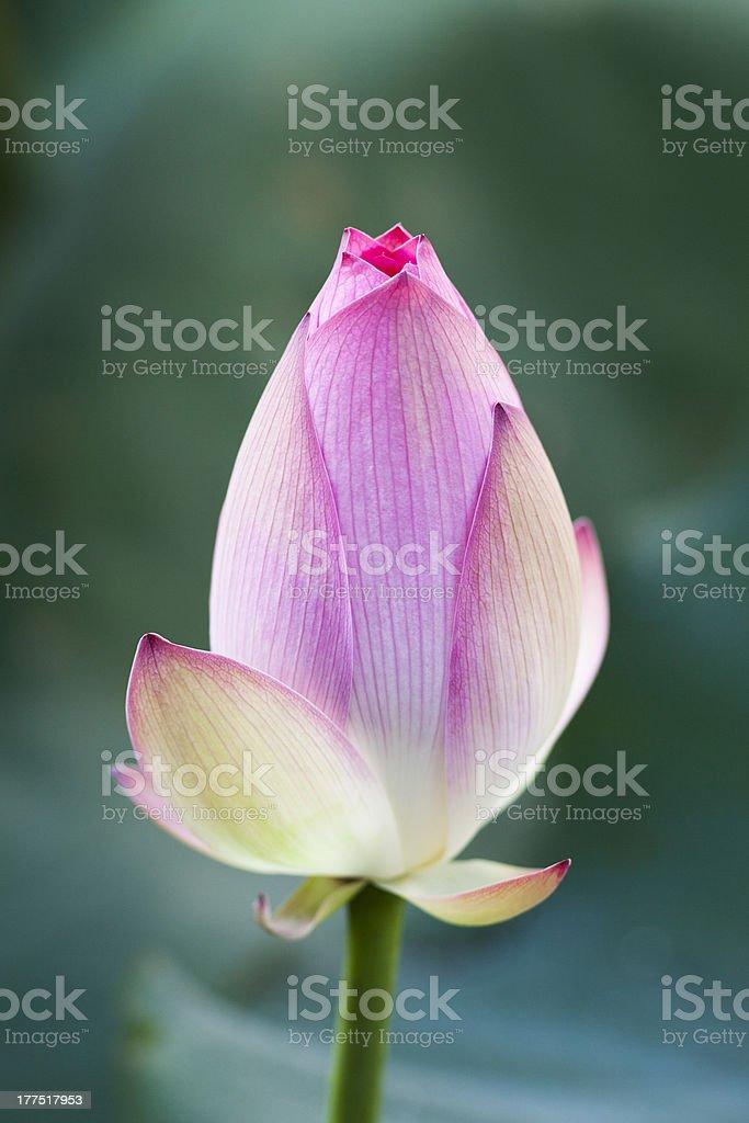 Lonely Lotus stock photo
