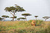 Male Lion in the Masai Mara National Park Kenia is lying on a hill in the first morning light.