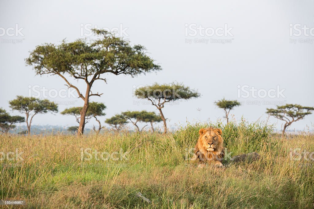 A lonely male lion in the Masai Mara Kenia stock photo