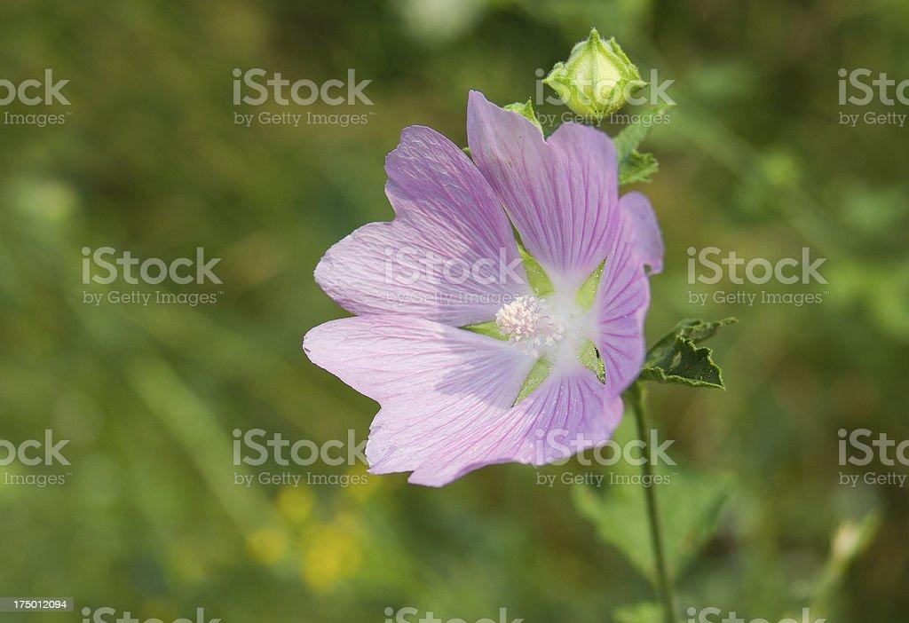 Lonely Malva flower royalty-free stock photo
