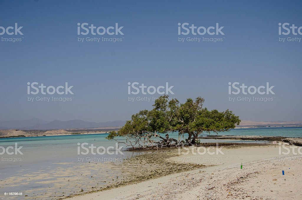 Lonely Mangrove Tree stock photo