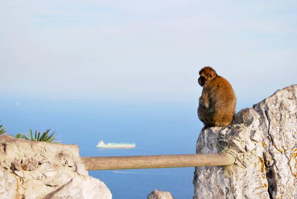 solitude singe - singe magot photos et images de collection