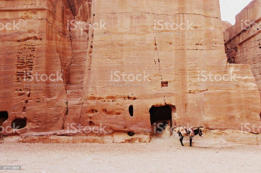 Lonely mule standig still in petra jordan stock photo