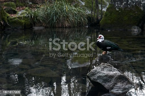 lonely muscovy duck stands on a stone in the middle of an autumn pond in a landscape park on a cloudy day