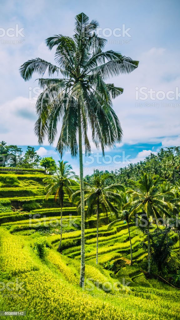 Lonely Nice Tall Palm with Big Branches in Amazing Tegalalang Rice Terraces, Ubud, Bali, Indonesia stock photo