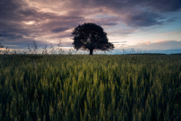 Lonely oak tree centered in the middle of the frame in a wheat field against dramatic sky after a storm stock photo