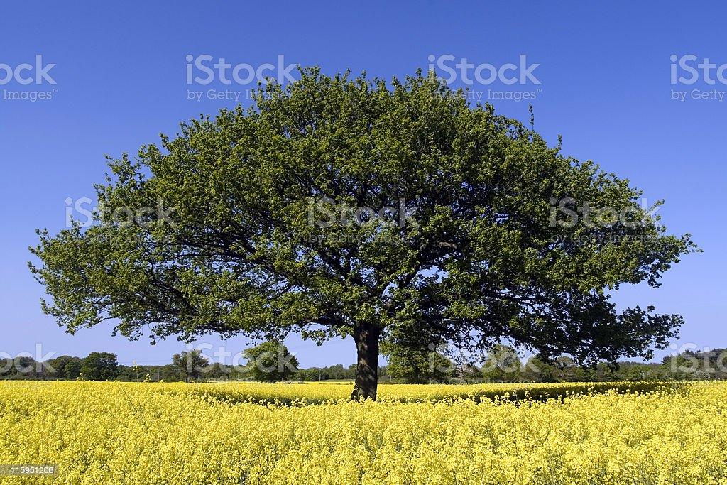 Lonely Oak Tree in English Oilseed Rape Field royalty-free stock photo
