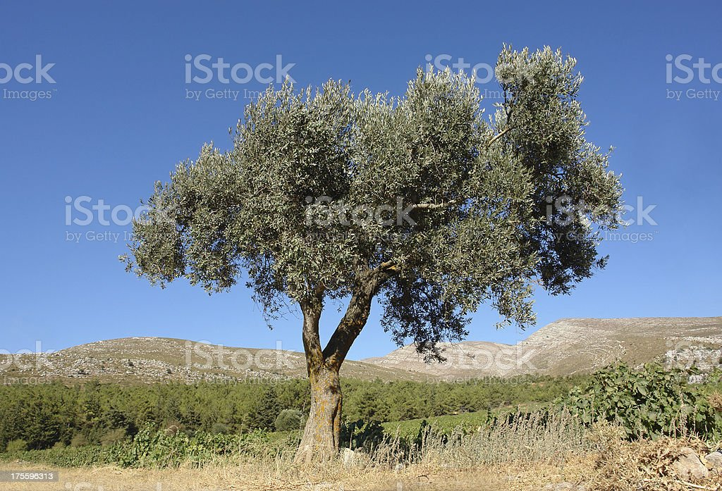 Lonely olive tree royalty-free stock photo