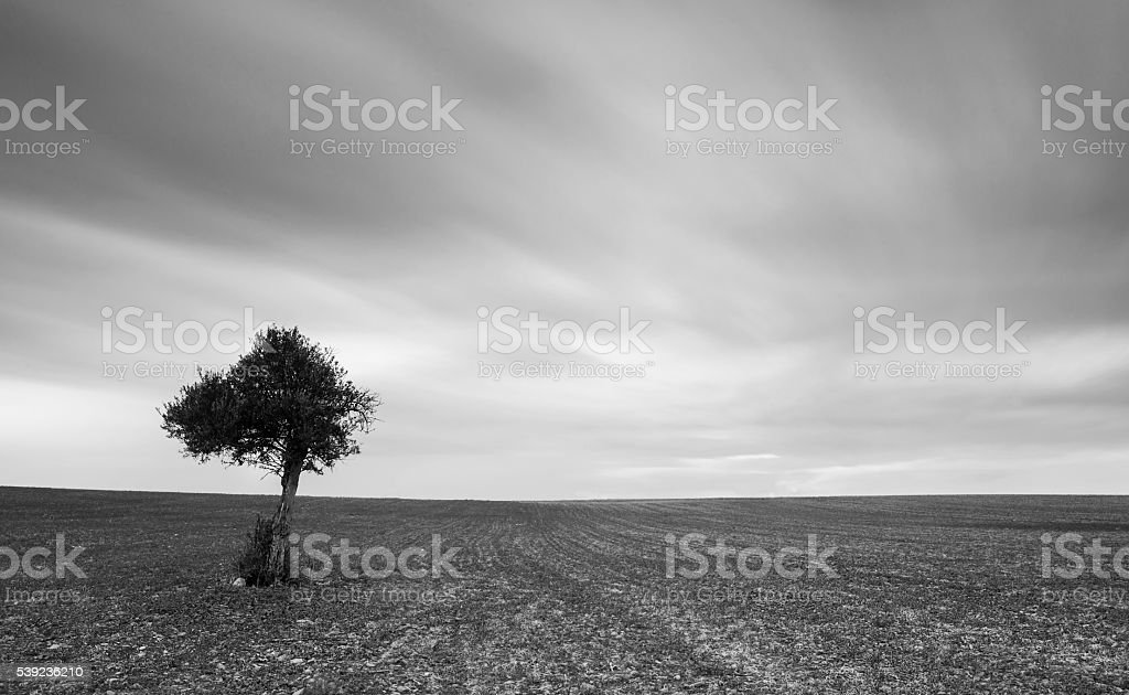 Lonely Olive tree with moving clouds royalty-free stock photo
