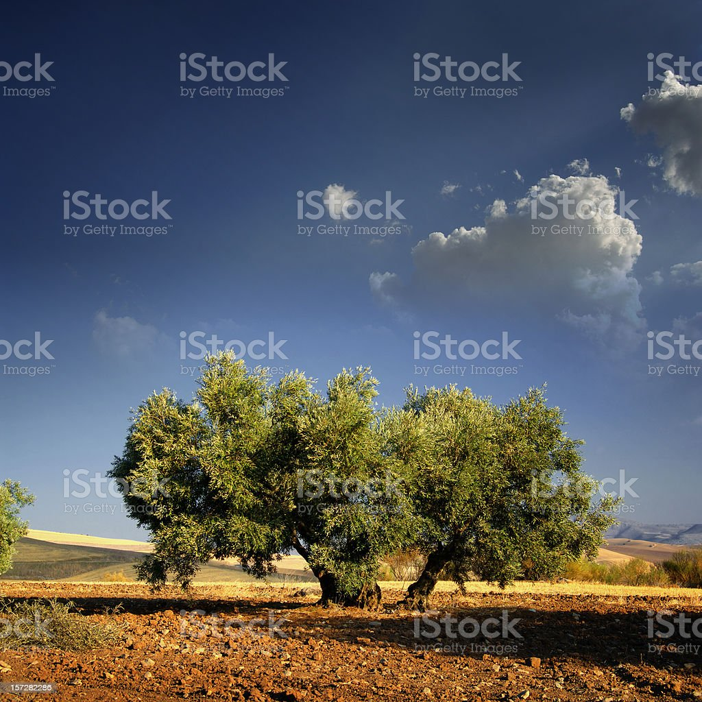 Lonely Olive's tree royalty-free stock photo