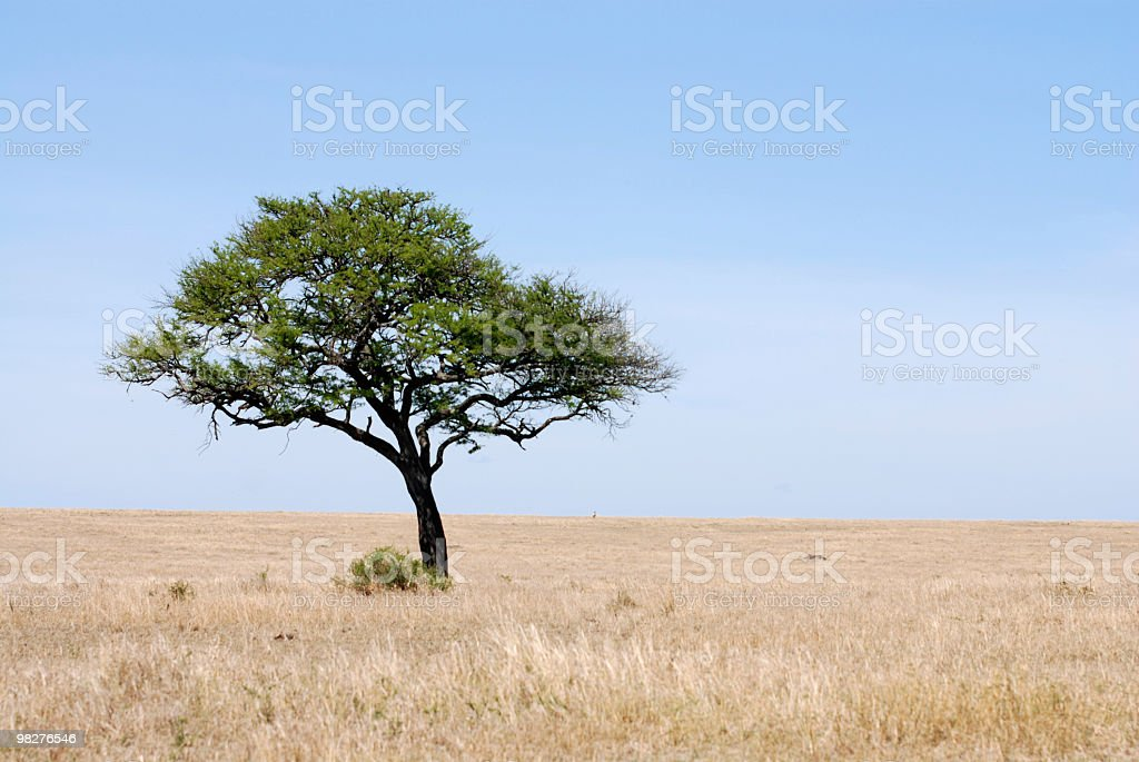 lonely one tree in the serengeti plains stock photo