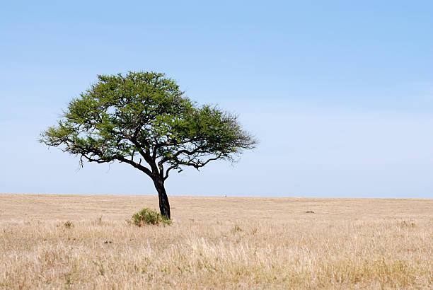 einsam einem baum in der serengeti plains - afrikanische steppe dürre stock-fotos und bilder