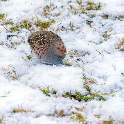 A lonely partridge in a snowy winter field