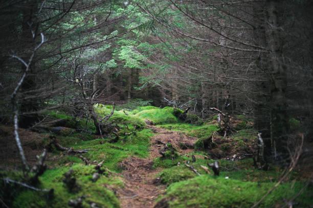 chemin solitaire dans la sombre forêt couverte de rosée, couvert de mousse - pinacée photos et images de collection