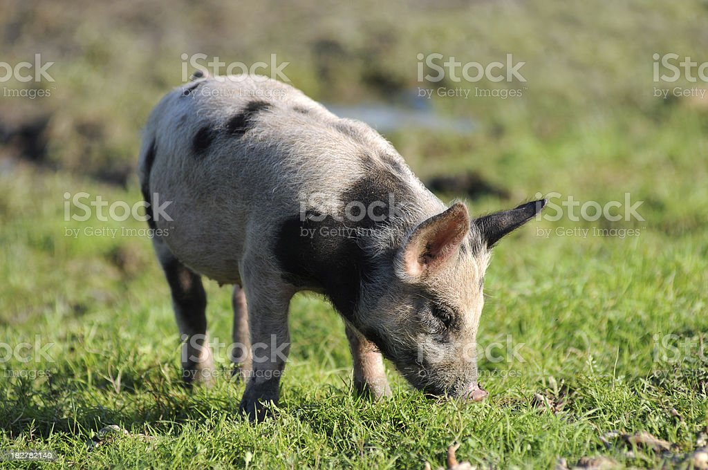 Lonely piggy royalty-free stock photo