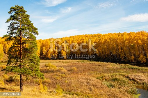 lonely pine in the foreground background autumn birch yellow forest. autumn by a small river