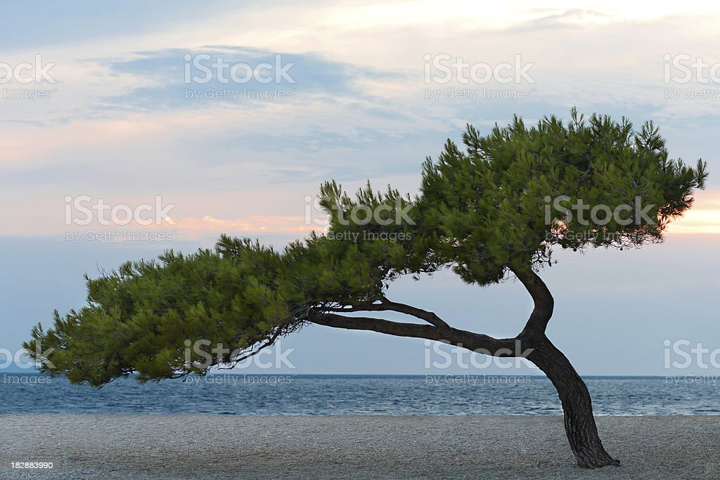 Lonely pine on the sand beach royalty-free stock photo