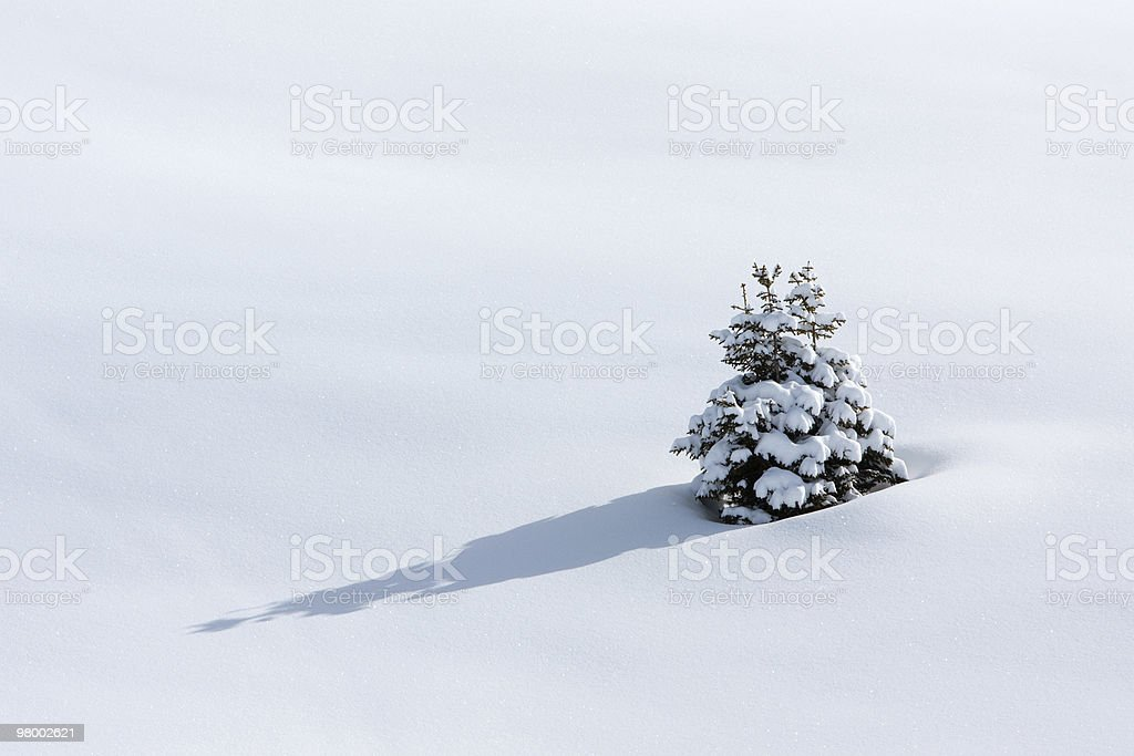 Lonely pine tree on snow royalty-free stock photo