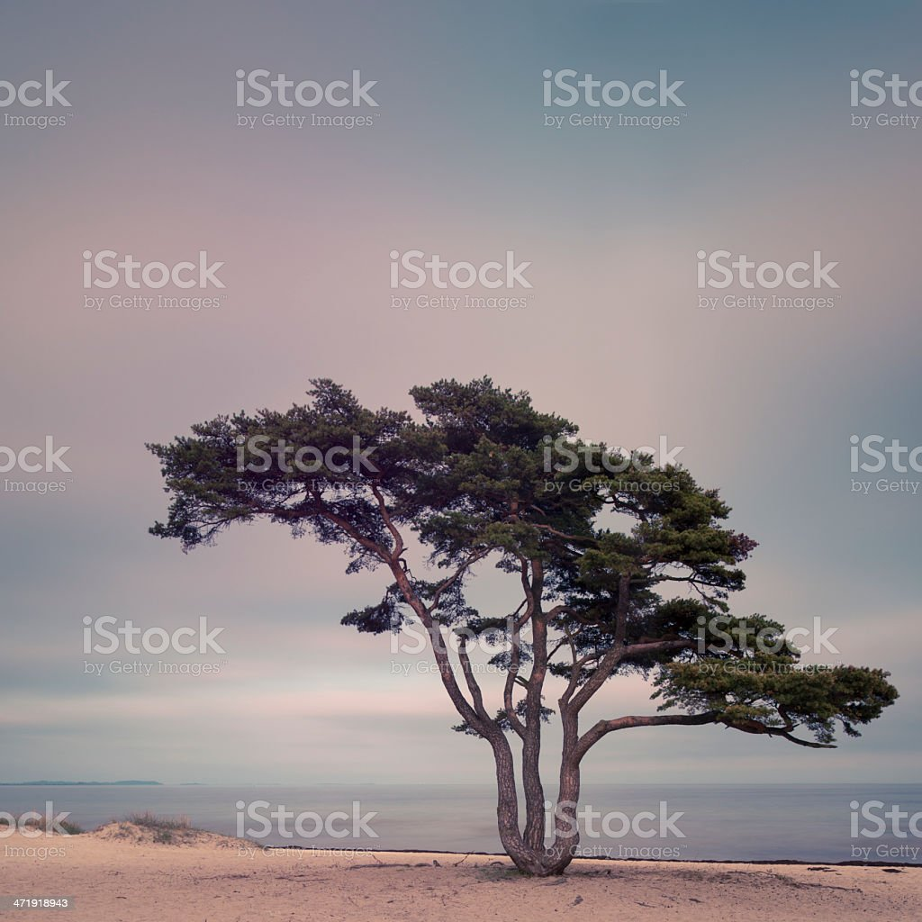 Lonely pine tree on the beach in Simrishamn, Skåne, Sweden, stock photo