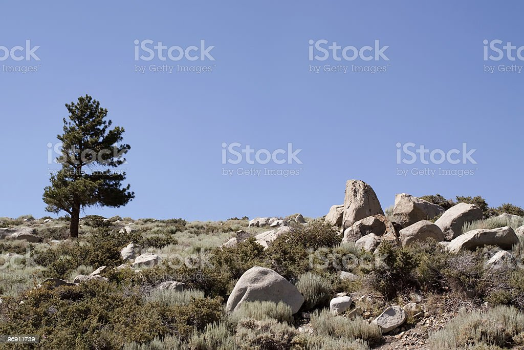 Lonely pine tree royalty-free stock photo