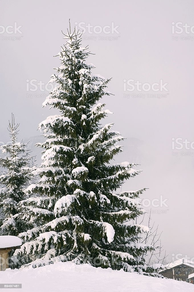 Lonely Pinetrees Covered in Snow. royalty free stockfoto