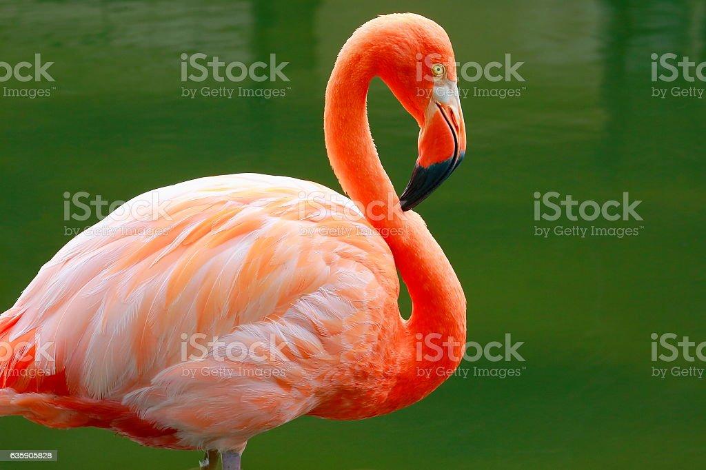 Lonely Pink flamingo side view, tropical bird, Chilean Atacama stock photo