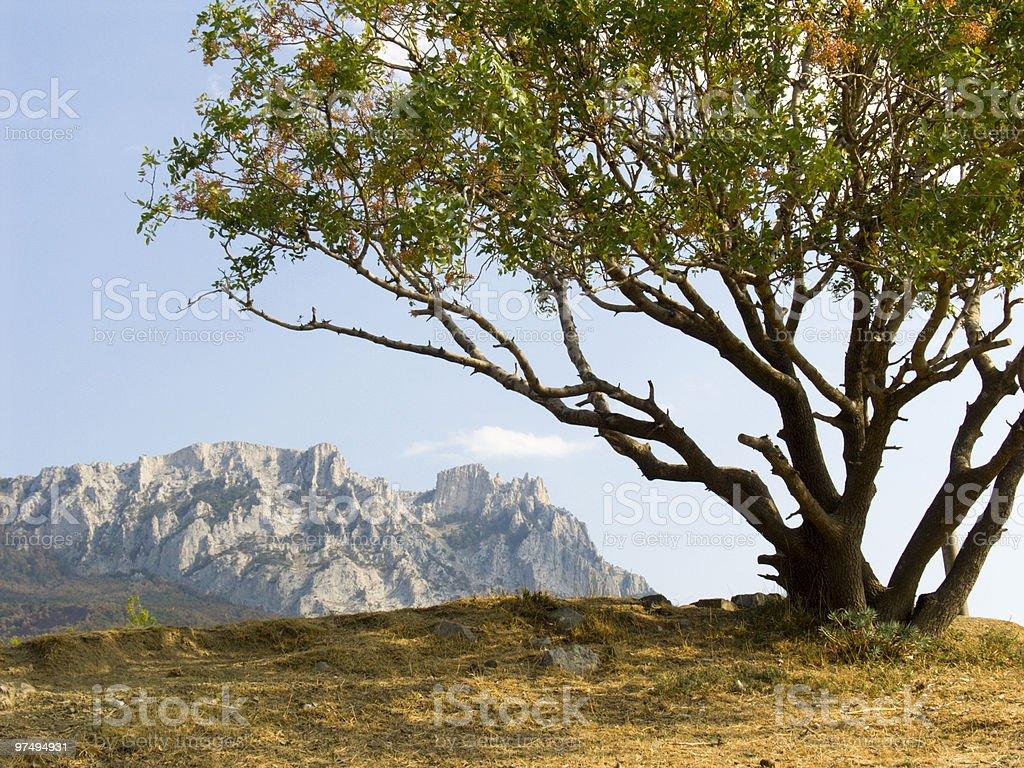 Lonely pistachio tree royalty-free stock photo