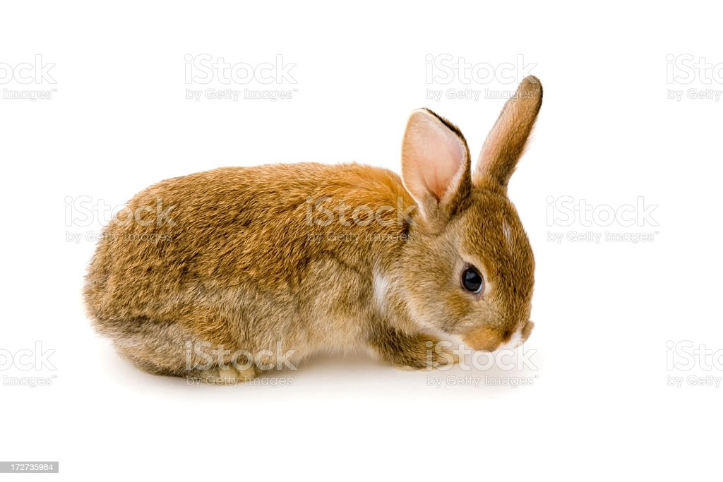 lonely rabbit royalty-free stock photo