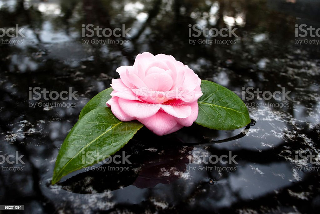 Lonely rose royalty-free stock photo