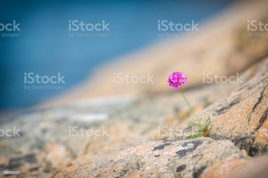 Lonely Sea Thrift stock photo