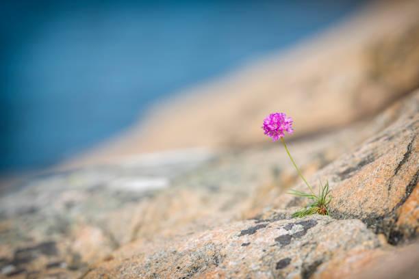 lonely sea thrift - bohuslän nature bildbanksfoton och bilder