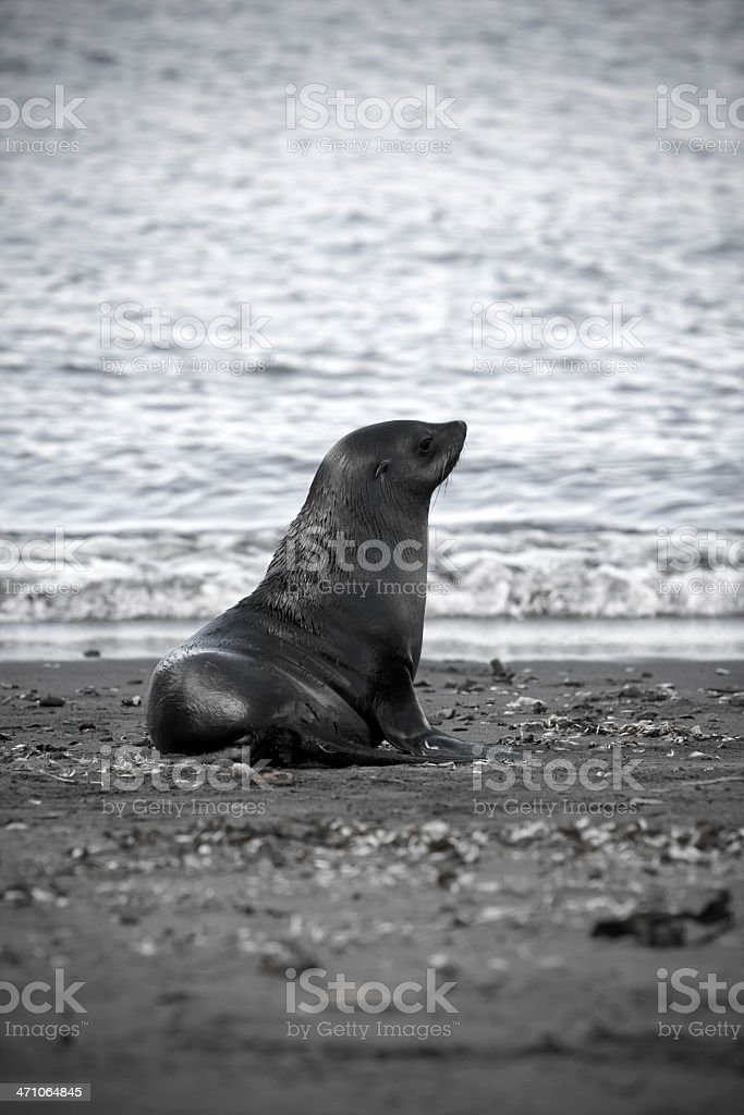 Lonely Seal at the Beach stock photo
