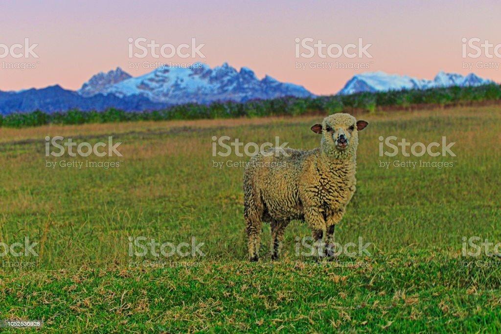 Sós ovelhas e Cordilheira Blanca, cobertas de neve dos Andes - região de Ancash, Peru - foto de acervo
