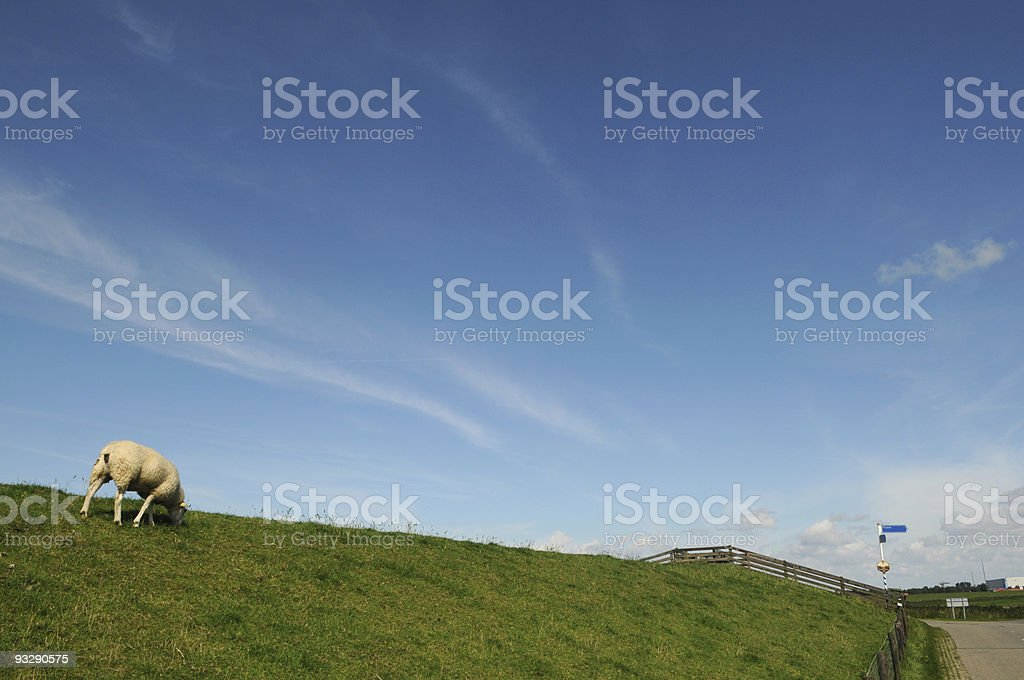 lonely sheep on dike, friesland, the netherlands stock photo