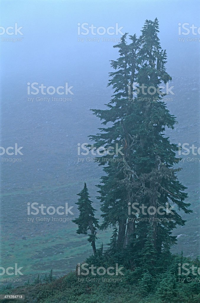 lonely stand of Western Hemlock stock photo