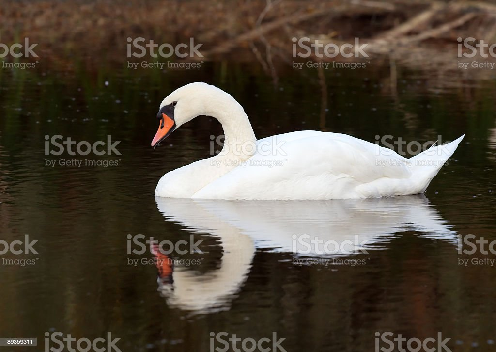 Lonely swan on lake royaltyfri bildbanksbilder